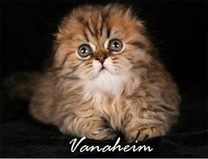 Шотландская вислоухая кошка порода