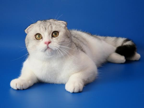 Коты британские короткоухие фото