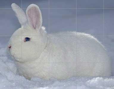породы декоративные кролики породы фото