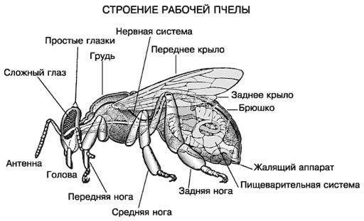 Строение пчелы с приведением