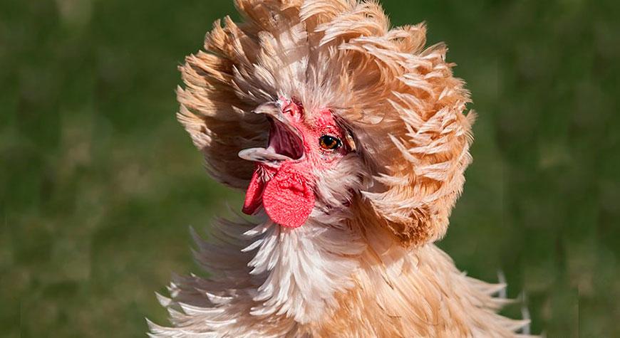 Курчавая порода кур