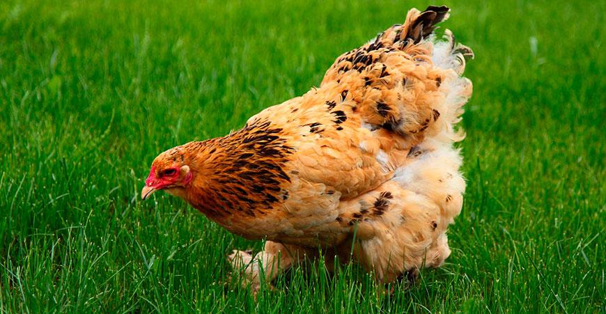 Курица породы Брама
