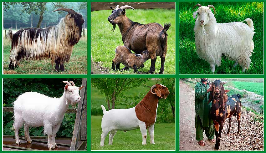 Породы Коз, Козы разных пород, Молочные породы коз, Goat Breeds, Different Breeds of Goats