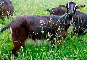 Породы Коз, Козы разных пород, Молочные породы коз, Goat Breeds, Different Breeds of Goats