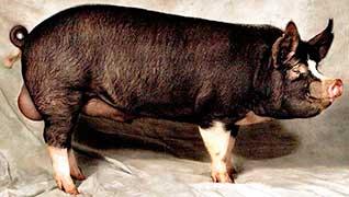 Berkshire cross pigs