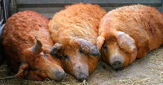 Порода свиней Венгерская Мангалица, Мангалица Венгерская, Мангалица свинья, Hungarian Mangalitsa, Mangalitsa pig, Мохнатые свиньи, Кучерявые свиньи,