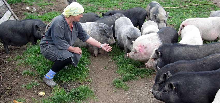 Выращивание вьетнамская свинья 27