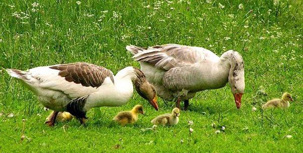 Кормление гусей