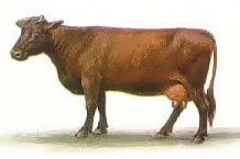 Бурая Латвийская порода коров