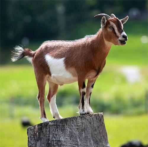 В Смоленской области запустят производство сыра из молока альпийских коз