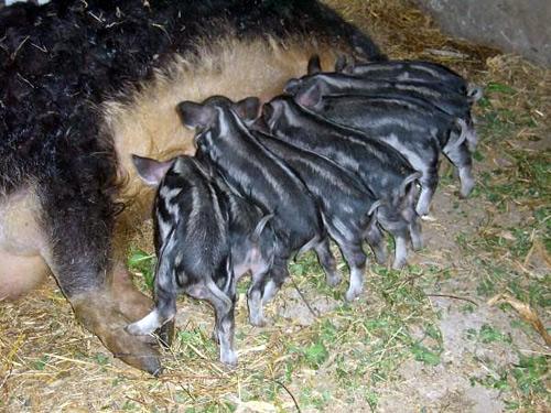 Венгерская Мангалица, венгерская свинья мангалица, мангалица венгерская пуховая, поросята венгерская мангалица