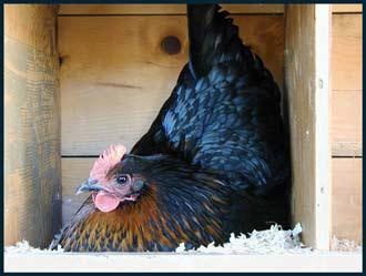 Курица породы Московская черная, Курица Московская черная
